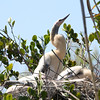 Anhinga chicks in nest, Everglades<br /> Copyright 2012, Tom Farmer