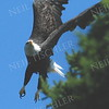 #745  A Bald Eagle in flight