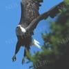 #745  A Bald Eagle in flight
