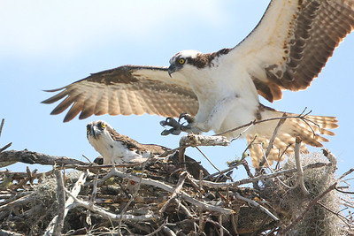 Ospreys on nest, Everglades Copyright 2012, Tom Farmer