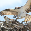 Ospreys on nest, Everglades<br /> Copyright 2012, Tom Farmer