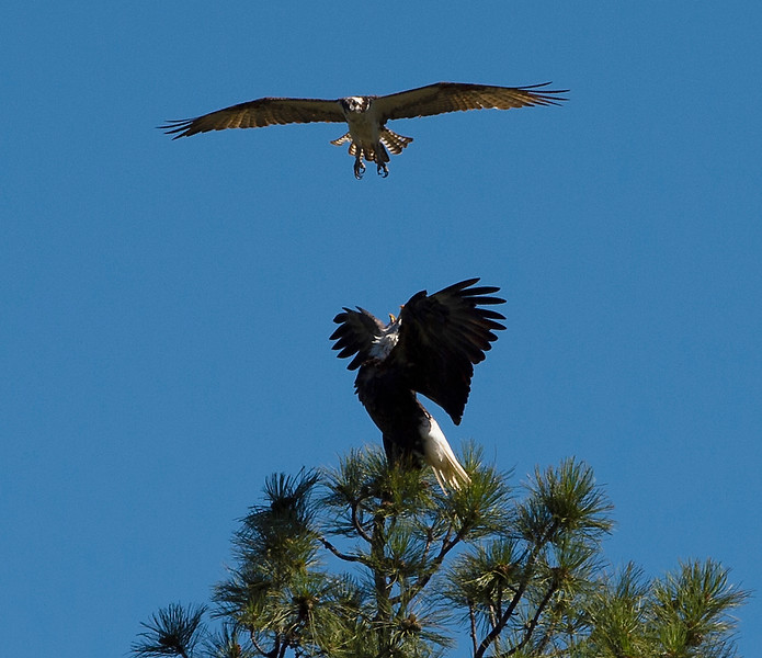 Osprey & Bald Eagle