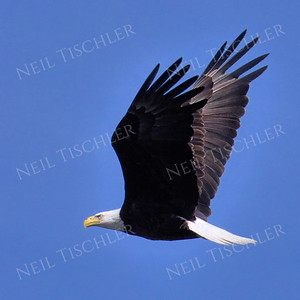 #1694  Bald Eagle, adult, in flight  Picture taken from a kayak on Nashua River, near Groton, MA on 4/29/20.  Eagle was close to its nest in the top of a pine tree.