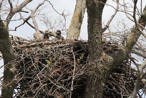 Eagle Nest At A Farm (Haliaeetus leucocephalus)