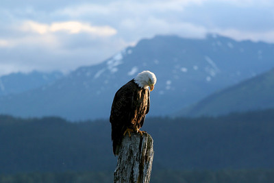 Bald Eagle in Seward, Alaska Copyright 2006, Tom Farmer