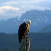 Bald Eagle in Seward, Alaska<br /> Copyright 2006, Tom Farmer
