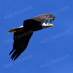 #1703  Bald Eagle, adult, in flight  Picture taken from a kayak on Nashua River, near Groton, MA on 4/29/20.  Eagle was close to its nest in the top of a pine tree.