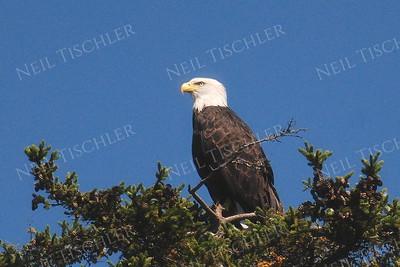 #744  A Bald Eagle