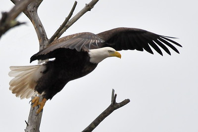 #1683  Bald eagle, adult, taking flight over swamp in South Acton, MA   02-16-20