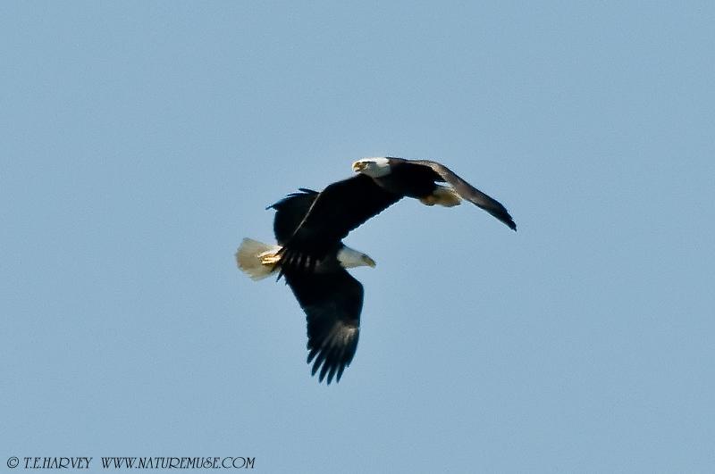 Eagles at Play