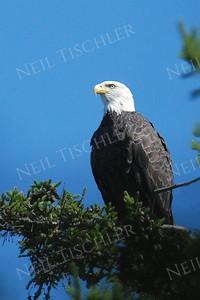 #743  A Bald Eagle