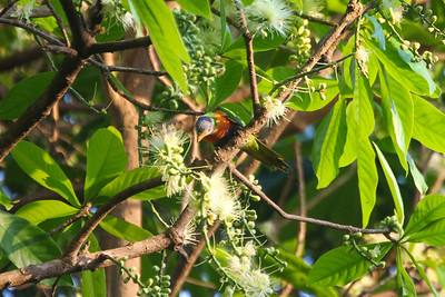 Rainbow Lorikeet in a Eucalypt tree, Port Douglas, Queensland, Australia Copyright 2011, Tom Farmer