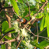 Rainbow Lorikeet in a Eucalypt tree, Port Douglas, Queensland, Australia<br /> Copyright 2011, Tom Farmer