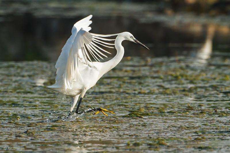 little egret לבנית קטנה
