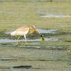 Squacco heron אנפית סוף