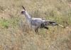 Secretary Bird Western Serengeti Tanzania