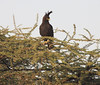 Long Crested Eagle Western Serengeti