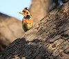 Crested Barbet Selous