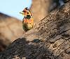 Crested Barbet Selous