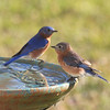 Lorenzo and Lana, our Eastern Bluebirds, are well-rested after their vacation at Le Rural Spa.