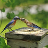 Lanzo, the immature Eastern Bluebird is stretching his neck for Papa.