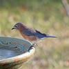 Lana, our female Eastern Bluebird, meditates about Leonardo as she gazes into the pool.