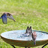 Gino, Gia and Ava, our Immature Eastern Bluebird family, swimming in the hot summer weather.  Gino prefers the high-dive into the pool.