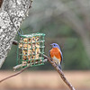 Leonardo, our male Eastern Bluebird, is considering his menu options.