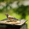 Lanzo, our immature Eastern Bluebird