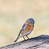 Ava. the female Eastern Bluebird, got to the buffet a little late and she was disappointed.