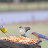 Left to right:  Male Pine Warbler, female Yellow-Rumped Warbler and female Eastern Bluebird