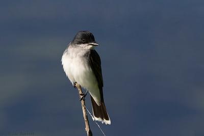 0U2A6110_Eastern Kingbird