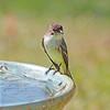 Eastern Phoebe at the birdbath!