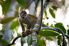 White-faced Squirrel Monkey
