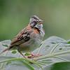 Rufous-collared Sparrow - Mindo, Ecuador