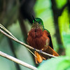 Chesnut-breasted Coronet