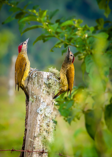 Woodpecker talk