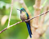 Female Violet-tailed Sylph
