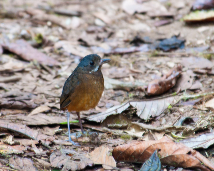 Mustached Antpitta