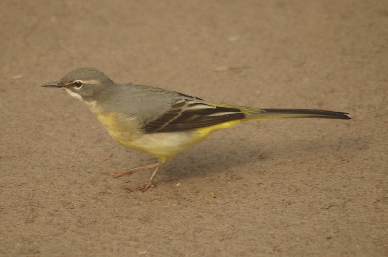 Grey wagtail (what's that doing here?)