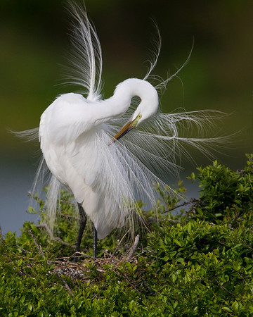 Simply Egrets