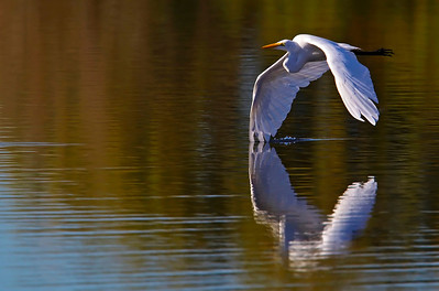 "Great Egret ""wing-draggin"""
