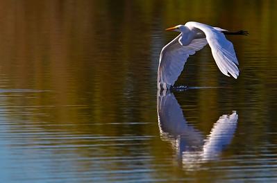 "Great Egret ""wing-draggin"""