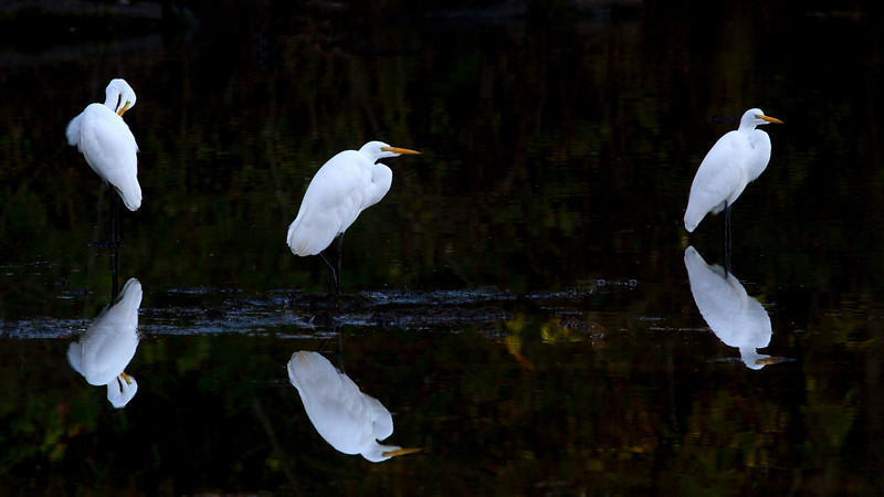 Great Egret Trio with reflections