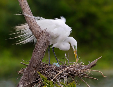 Great Egret does nest management