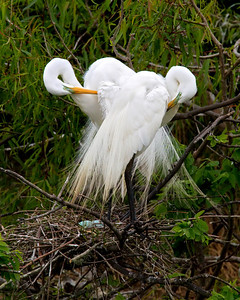 Two Egrets Preening on Nest with Eggs