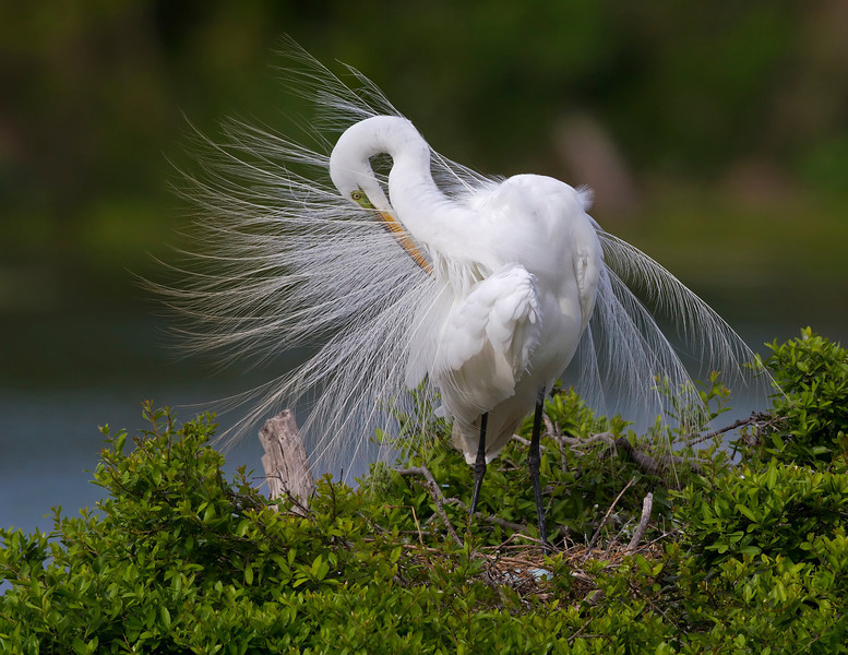 Great Egret with a fan of feathers!