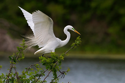 Great Egret Landed.