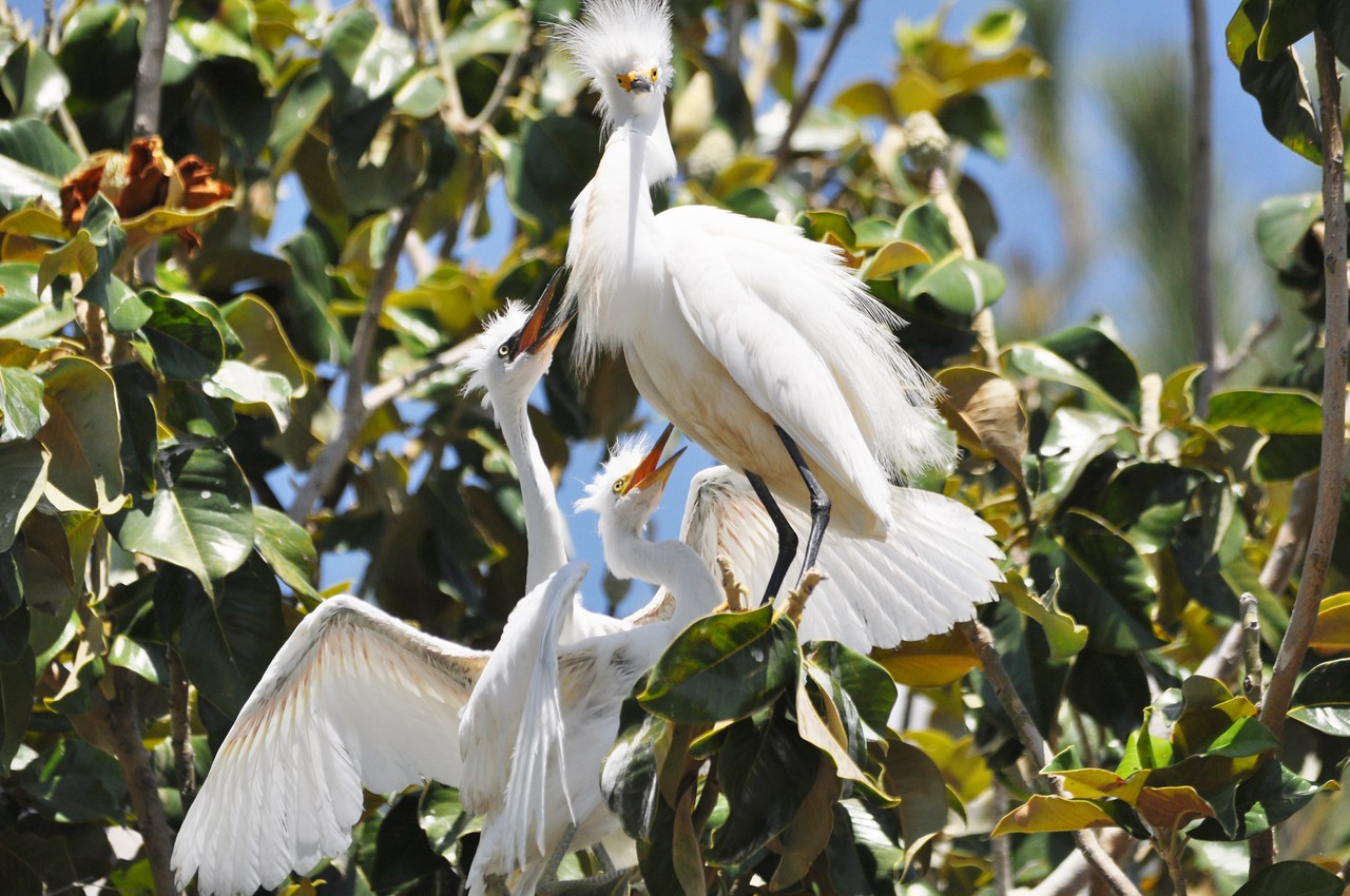 Egret Young & Mother