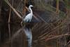 Great Egret (b0548)